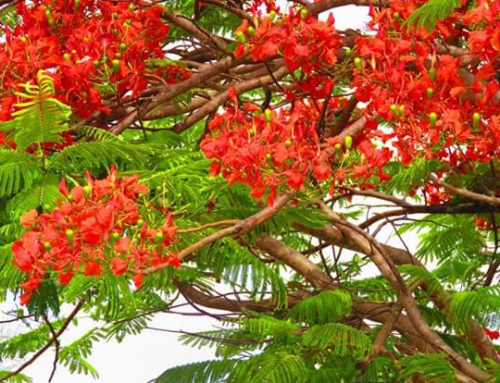 Anguilla Flowers